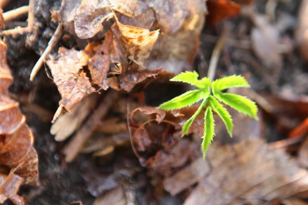 Sonnenhungriger Frühlingsbote: Giersch - das Detox-Wildkraut