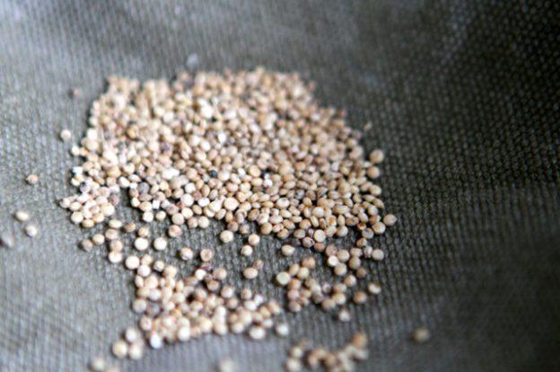 Samen des Gänsefussgewächses Chenopodium quinoa